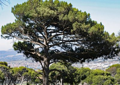 Tree on Table Mountain overlooking Cape Town